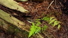 Endangered Hog-nosed Snake exploring the forest floor in Ontario, Canada. Stock Footage