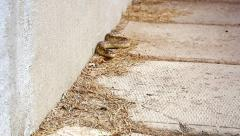 Endangered Hog-nosed Snake slithers around the outside wall of a house. Stock Footage
