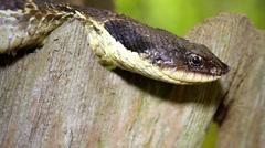 Endangered Eastern Hog-nose Snake (Heterodon platirhinos) in Ontario, Canada. Stock Footage
