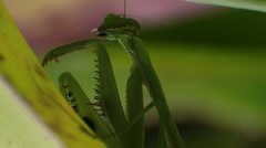 Praying Mantis Cleaning Itself Stock Footage