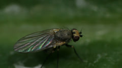 Small Fly Insect Macro Stock Footage