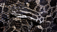 Endangered Massasauga Rattlesnake coiled on the forest floor Ontario, Canada. Stock Footage