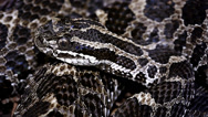 Stock Video Footage of Endangered Massasauga Rattlesnake coiled on the forest floor Ontario, Canada.