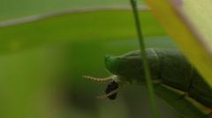 Praying Mantis Defecating Stock Footage
