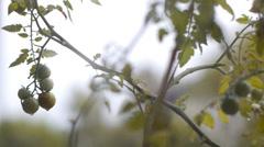 Rainy tomato Stock Footage