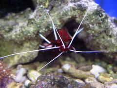 Red royal shrimp with a white moustache Stock Photos