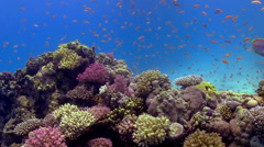 Colorful Fish on Vibrant Coral Reef - stock footage