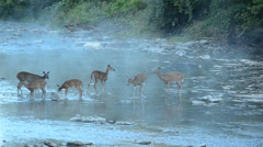 Whitetail deer does and fawns Stock Footage