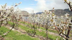 Cherry Orchard Blossoms, Osoyoos Stock Footage