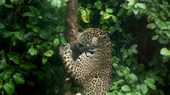 Jaguar Cub Stock Footage