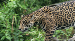 Jaguar Stock Footage