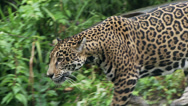 Stock Video Footage of Jaguar
