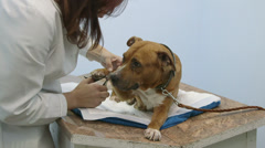 American staffordshire terrier nail trimming Stock Footage