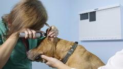 Veterinarian Examining Dog At Vet Clinic Stock Footage