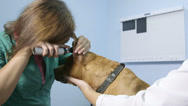 Stock Video Footage of Veterinarian Examining Dog At Vet Clinic
