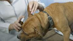 Vet doctor cleaning dogs ear at pets clinic Stock Footage