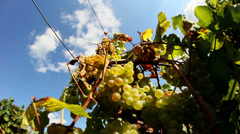 Grapes time lapse - stock footage