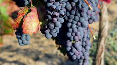 Grapes - stock footage