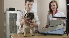 Vet Examining Pug Dog at Animal Clinic Stock Footage