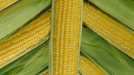 Stock Video Footage of Fresh sweet corn