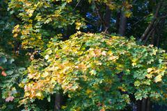 Stock Photo of yellow maple leafs on tree