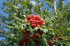 ashberry at dry sunny day - stock photo