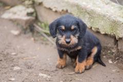 Small dachshund closeup Stock Photos