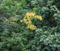 Early yellow leafs on green Stock Photos