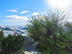 green pins of the pine tree. winter - stock photo