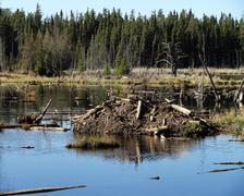 Beaver Hut - stock photo