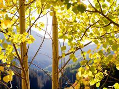 Golden aspens Stock Photos
