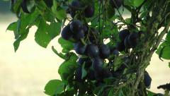 Food - Summer Fruit on Tree Stock Footage