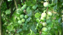 Food - Summer Fruit on Tree Stock Footage