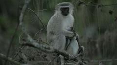 Vervet Monkey with baby Stock Footage