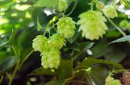 Stock Photo of hop branch