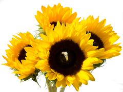 Sunflowers with an inset Diamond Ring - stock photo