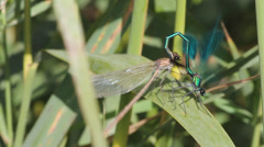 Dragonfly pairing. Sex Stock Footage