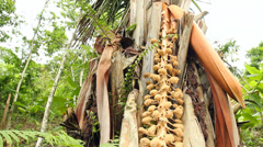 Male flower of the Tagua or Vegetable Ivory Palm (Phytelephas aequatorialis) in  Stock Footage