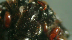 Mite on a dead fly Carcass Stock Footage