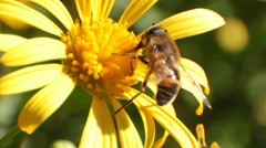 Bee Mimic Fly - Tribe Villini 'Banded Bee Fly' (2 of 2) Stock Footage