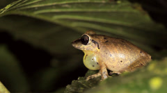 Male rain frog (Pristimantis achatinus) calling in the rainforest at night  Stock Footage