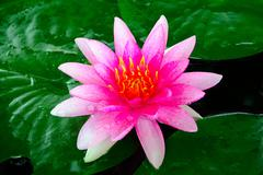 Close-up image of Pink Water Lily Stock Photos