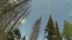 Beautiful mountain forest beetle killed pines HD 0033 Stock Footage