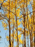 Yellow aspens Stock Photos