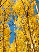 Yellow aspens Stock Photos