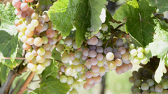Grapevines in Obernai Alsace, France - stock footage