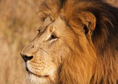 Male lion with scars close-up Stock Photos