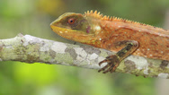 Stock Video Footage of Red-eyed Woodlizard (Enyalioides oshaughnessyi)
