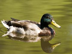 Swimming duck in pond Stock Photos