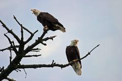 Two american bald eagles in a tree Stock Photos